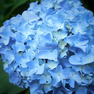 花,雨,青,紫陽花,ブルー,梅雨,色彩,草木,アジサイ