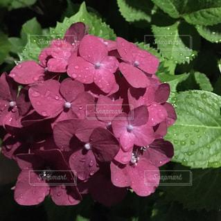 花,雨,ピンク,紫陽花,梅雨,色彩,草木,アジサイ