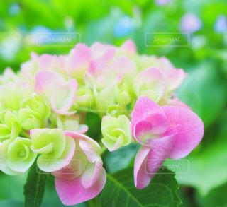花,雨,ピンク,カラフル,紫陽花,梅雨,色彩,草木,アジサイ