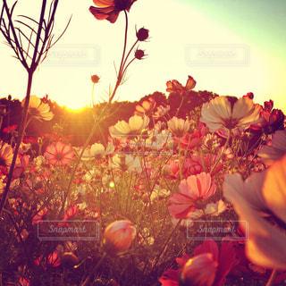 秋,コスモス,夕焼け,夕暮れ,逆光,黄昏,秋桜