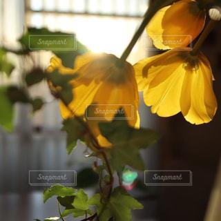 黄色,窓,日差し,チューリップ,窓辺,暮らし,イエロー