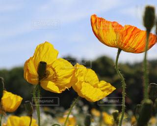 花,春,黄色,ポピー,イエロー,ひなげし