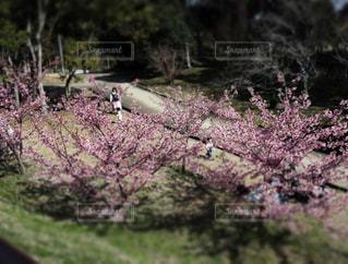 春,桜,散歩,花見,お花見,ピクニック