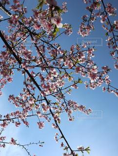 春,桜,ピンク,青空,花見,お花見