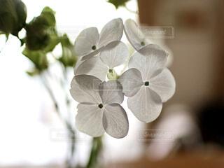 小さな紫陽花の写真・画像素材[4360452]
