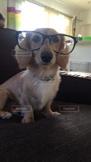 犬,動物,眼鏡,可愛い,目