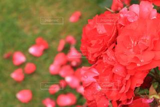 近くの花のアップの写真・画像素材[1373103]
