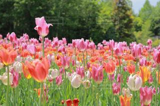 フィールドのカラフルな花のグループの写真・画像素材[1373109]