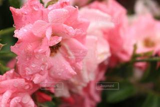 花,ピンク,きれい,バラ