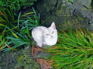 草の上に横たわる猫の写真・画像素材[1159253]