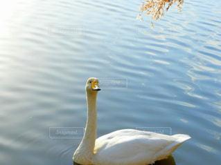 冬,白,白鳥,ホワイト,しろ