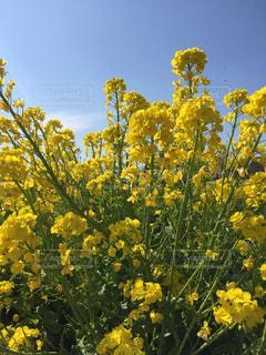 お花畑の写真・画像素材[618426]