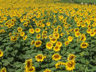 ひまわり畑の写真・画像素材[798957]