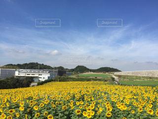 ひまわり畑 - No.798958