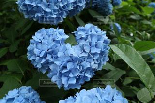 花,青,ハート,紫陽花,梅雨