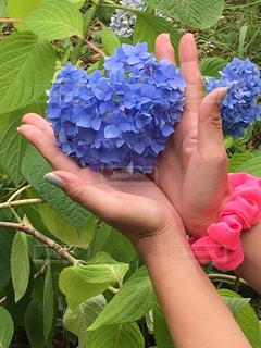 女性,花,植物,青,手,ハート,紫陽花,梅雨