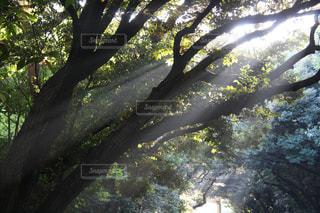 森の大きな木の写真・画像素材[1264515]