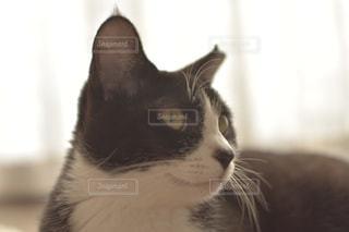 カメラを見ている猫の写真・画像素材[1288030]