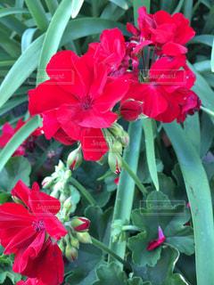 花の写真・画像素材[556707]