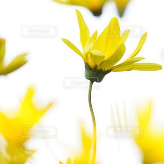 黄色の写真・画像素材[597771]