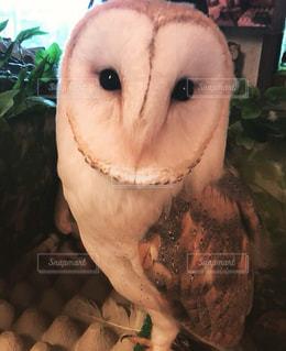 笑顔のフワフワフクロウの写真・画像素材[746021]