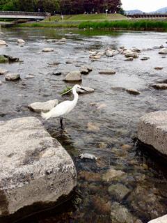 京都,白い鳥,加茂川,清き流れ,脚冷たい