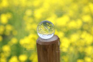 花,春,黄色,菜の花,お花,人物,写真,一眼レフ,水晶