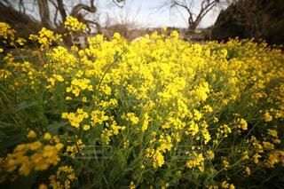 春,カラフル,黄色,菜の花,お花,旅行,写真,一眼レフ,撮る,インスタ映え