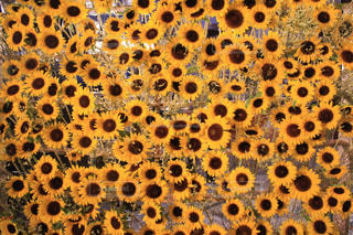 花,夏,カメラ女子,ひまわり,カラフル,黄色,お花,観光,向日葵,旅行,写真,yellow,撮る