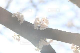 花,春,桜,屋外,ピンク,お花,観光,お花見,一眼レフ,インスタ映え