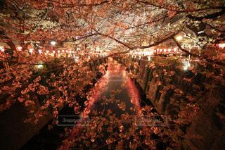 花,春,桜,夜,屋外,ピンク,カラフル,暗い,お花,観光,お花見,一眼レフ,インスタ映え