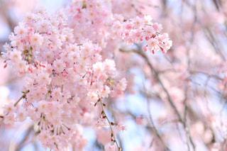 花,桜,屋外,東京,ピンク,かわいい,カラフル,お花,観光,お花見,桜道,インスタ映え