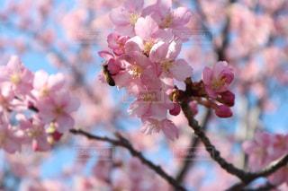 桜,静岡,河津桜,浜岡砂丘,3月上旬