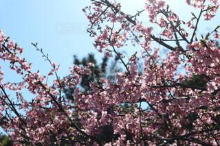 桜,晴れ,青空,静岡,河津桜,浜岡砂丘,3月上旬