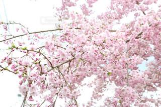 桜,日本,お堀,静岡県,4月,静岡市,駿府城公園