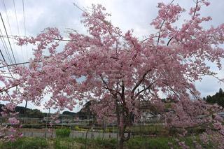 桜,日本,静岡県,4月,静岡市,駿府城公園