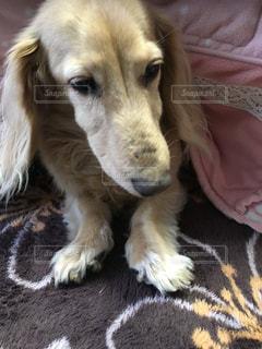 茶色と白の犬をベッドの上に座っての写真・画像素材[996161]