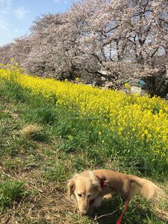 フィールドに黄色の花の上に横たわる犬の写真・画像素材[996175]