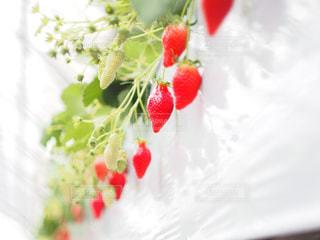 赤,いちご,苺,フルーツ,いちご狩り