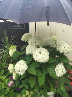 雨の中で青い傘の写真・画像素材[813998]