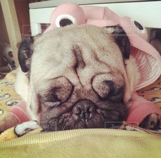ベッドの上で寝ている犬の写真・画像素材[973509]