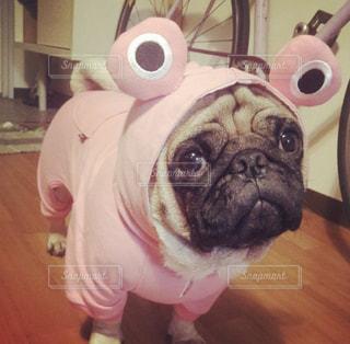 着ぐるみを着た犬の写真・画像素材[973513]
