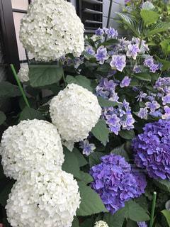 屋外,紫陽花,雨の日,アジサイ