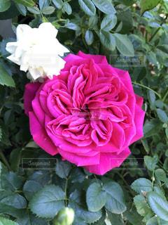 近くの花のアップの写真・画像素材[1370827]