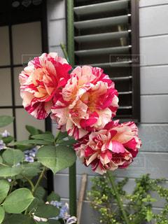 ピンクの花で一杯の花瓶の写真・画像素材[1370846]