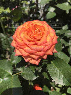 花のように赤いバラの写真・画像素材[1370852]