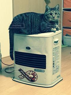 猫,キジトラ,猫のいる生活,ネコ,シマシマ