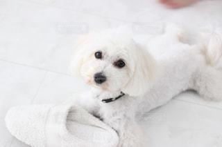 小さな白い犬の写真・画像素材[977119]