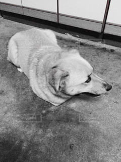 地面に横たわっている犬の写真・画像素材[814356]