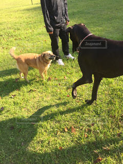 草でフリスビーを運ぶ犬の写真・画像素材[978159]